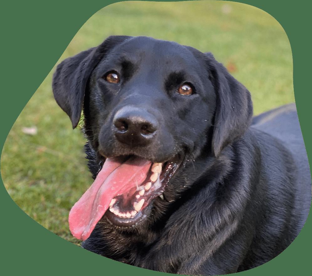 Labrador Hunderasse