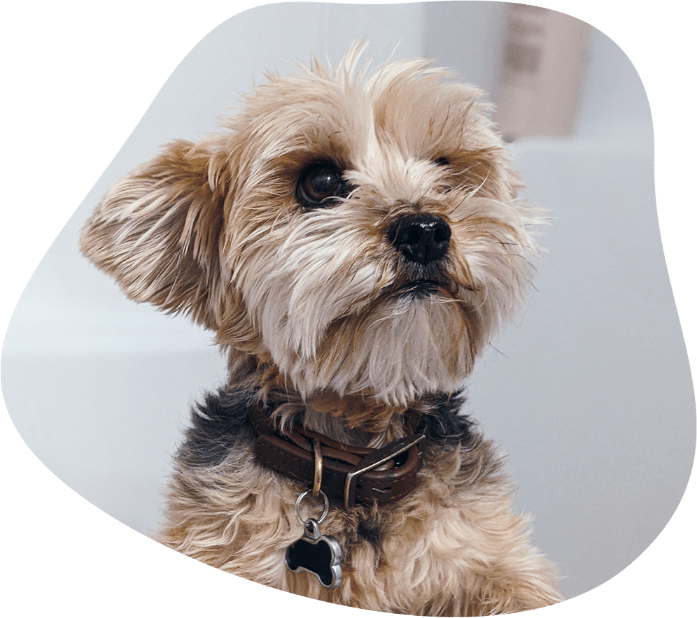 Yorkshire Terrier Hunderasse