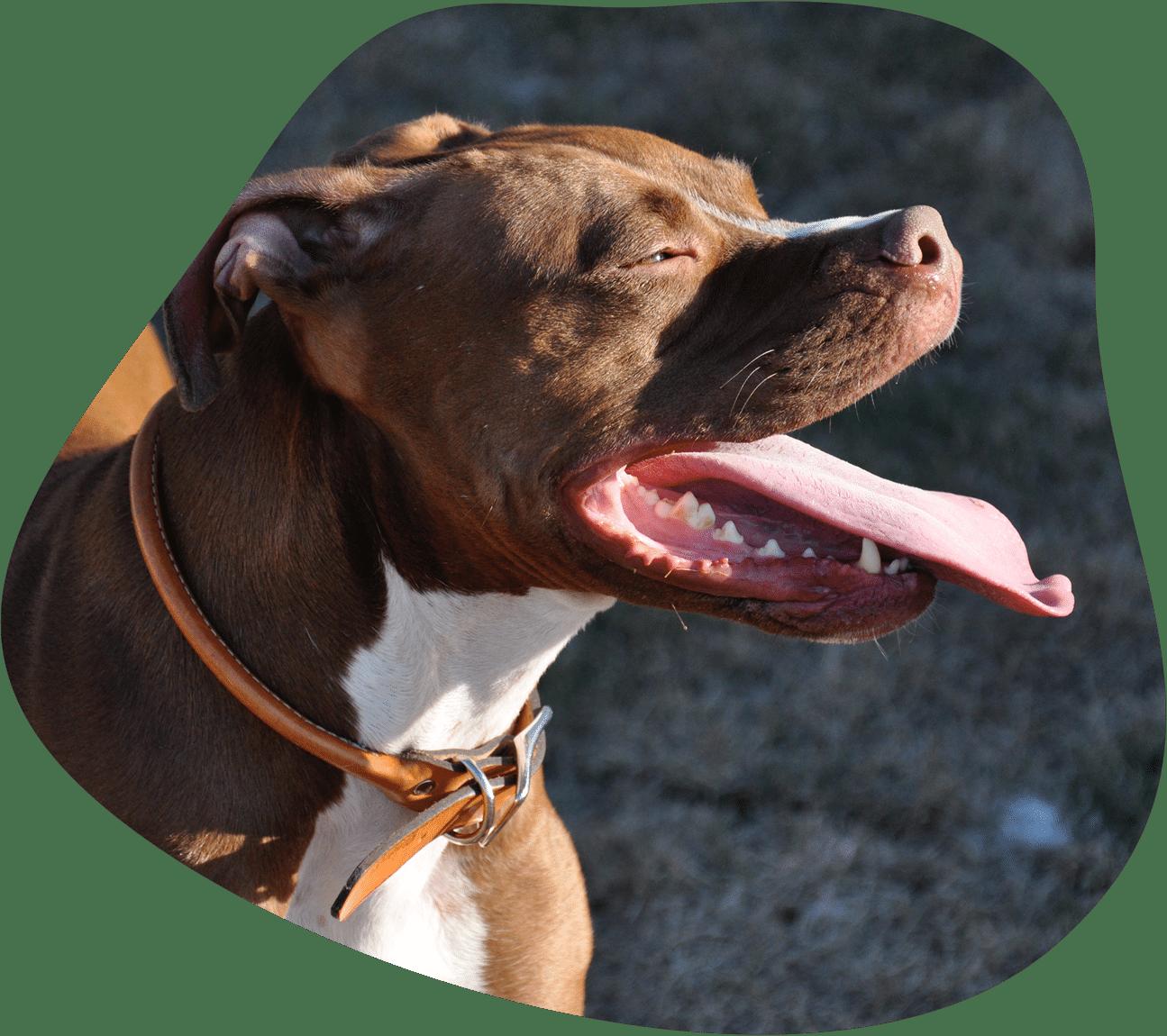 Bild eines American Staffordshire Terriers, der in die Sonne schaut.