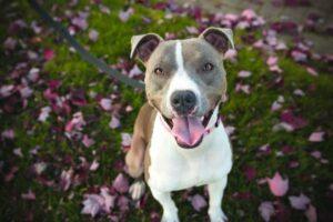 Bild eines American Staffordshire Terrier an der Leine, der freudig in die Kamera schaut.