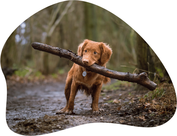 Hund apportiert großen Stock im Wald