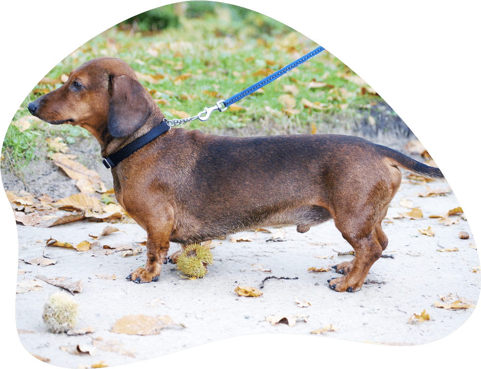 Dackel Dachshund Hunderasse