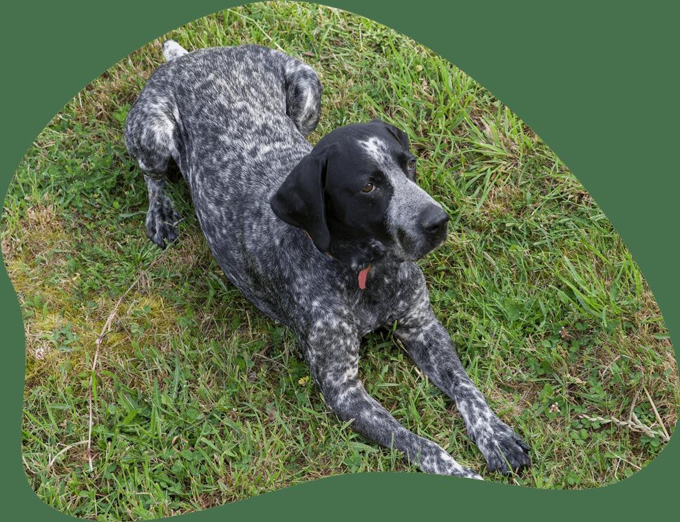 Deutsch Kurzhaar Hund