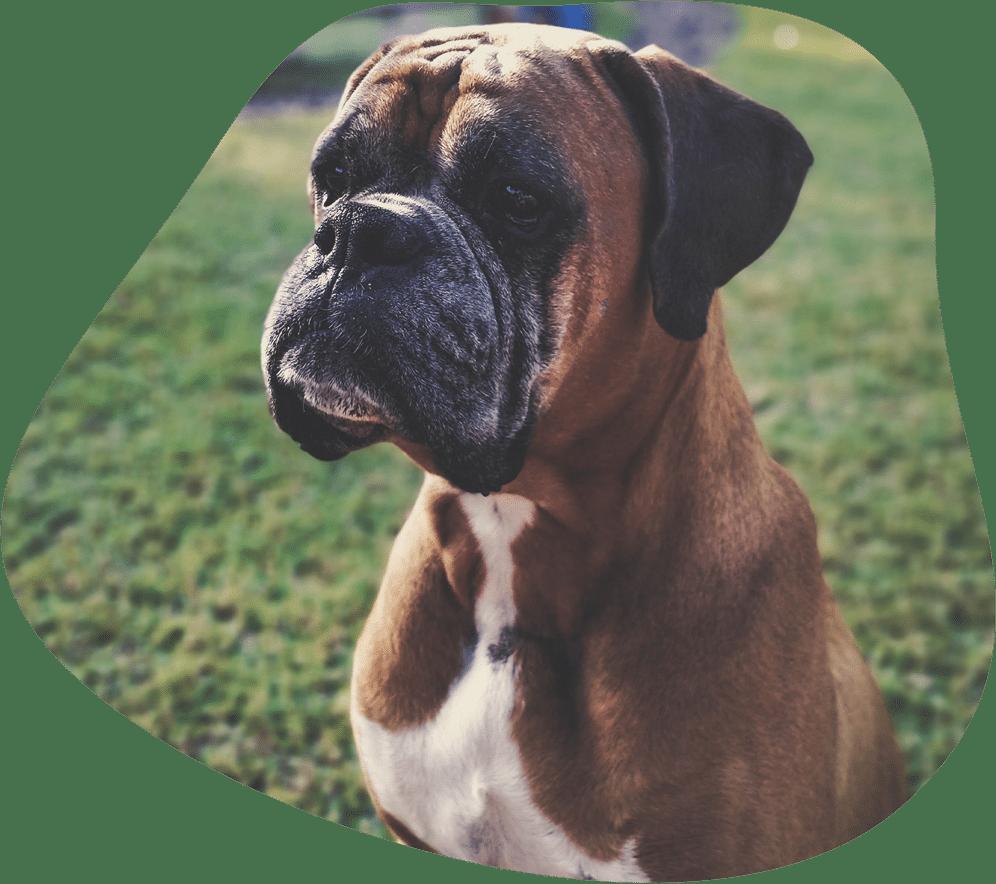 Deutscher Boxer Hunderasse