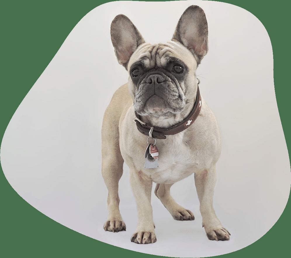 Französische Bulldoge Hunderasse