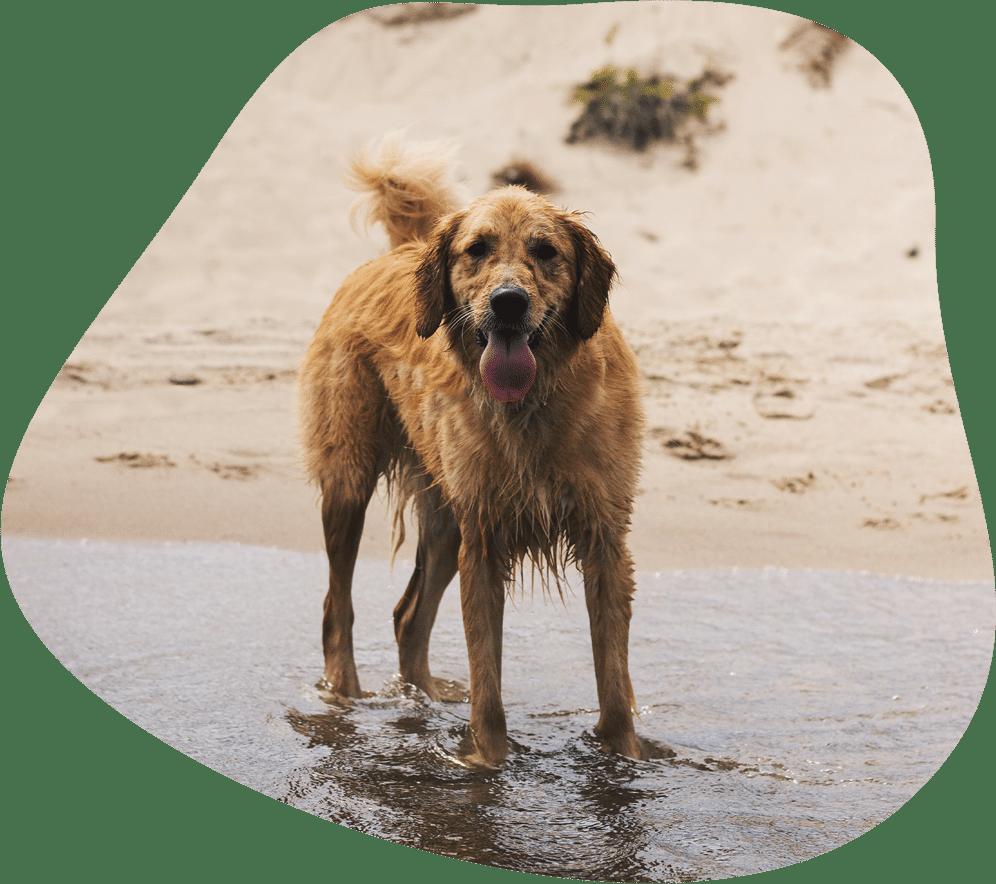 Golden Retriever Hunderasse