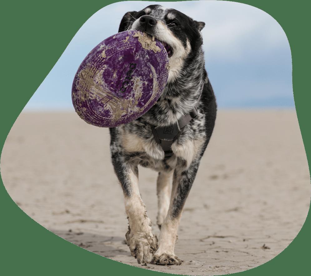 Hund apportiert eine Frisbee am Strand
