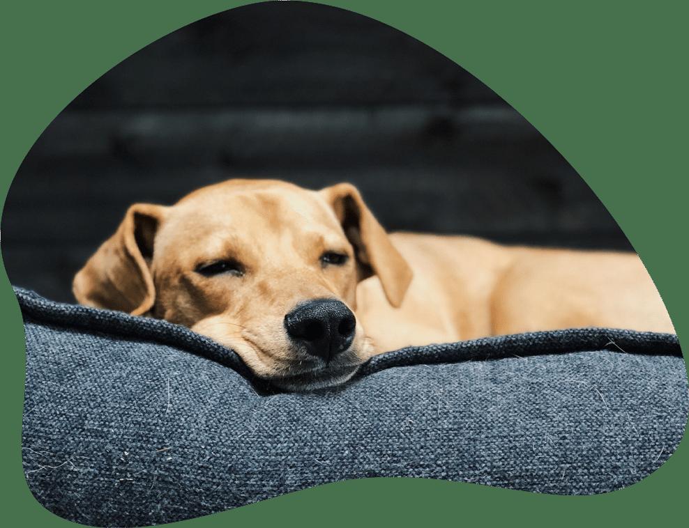 Kleiner Hund schlafend in seinem Körbchen