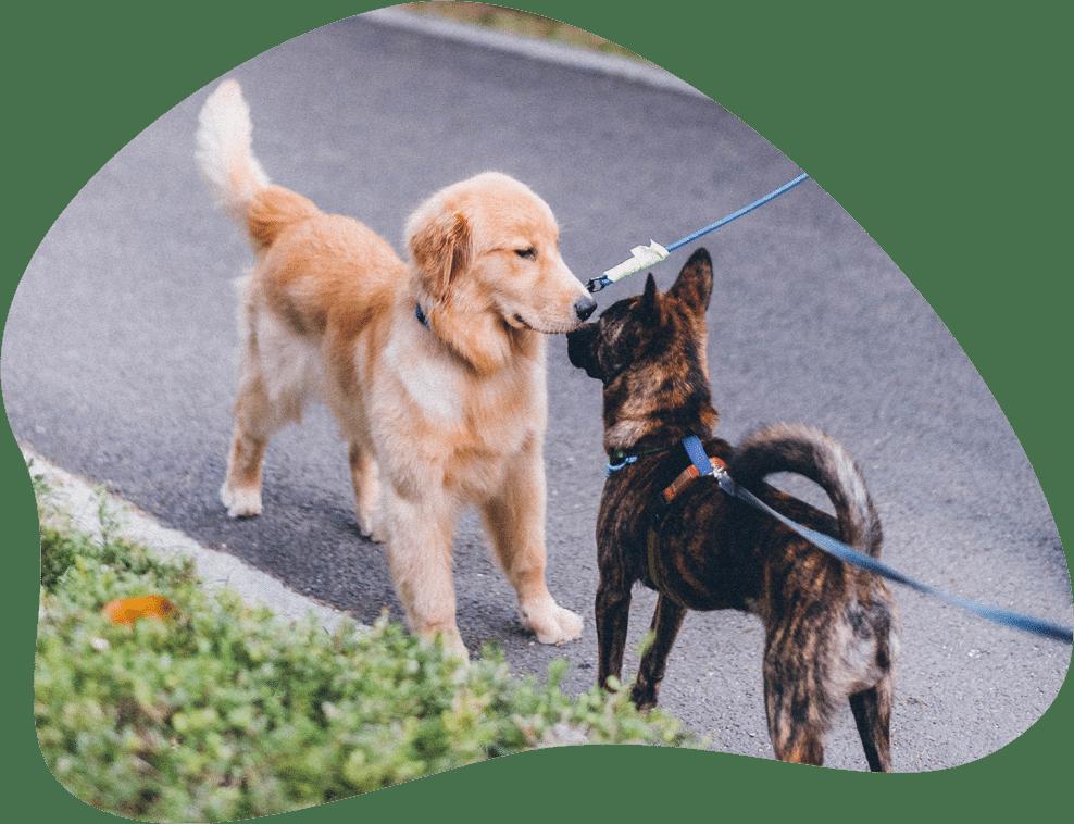 Zwei Hunde treffen aufeinander und beschnüffeln sich
