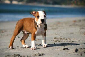Bild eines American Pitbull Terrier Welpen am Strand