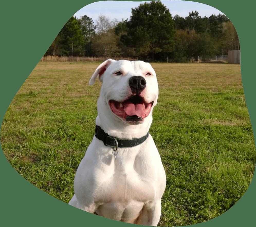 Bild eines lächelnden, weißen American Bulldog als Titelbild für das Rasseporträt