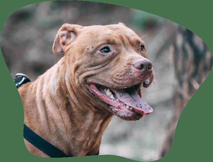 Bild eines American Bulldog als Titelbild für das Rasseporträt
