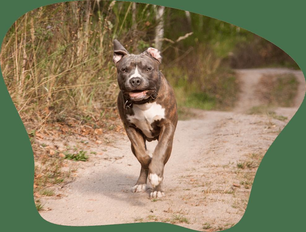 Bild eines American Pitbull Terriers, der rennt