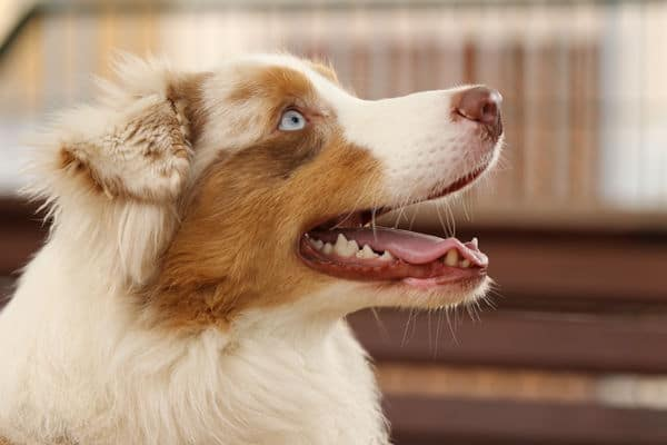 Bild eines Australien Shepherd als Titelbild für das Rasseporträt.
