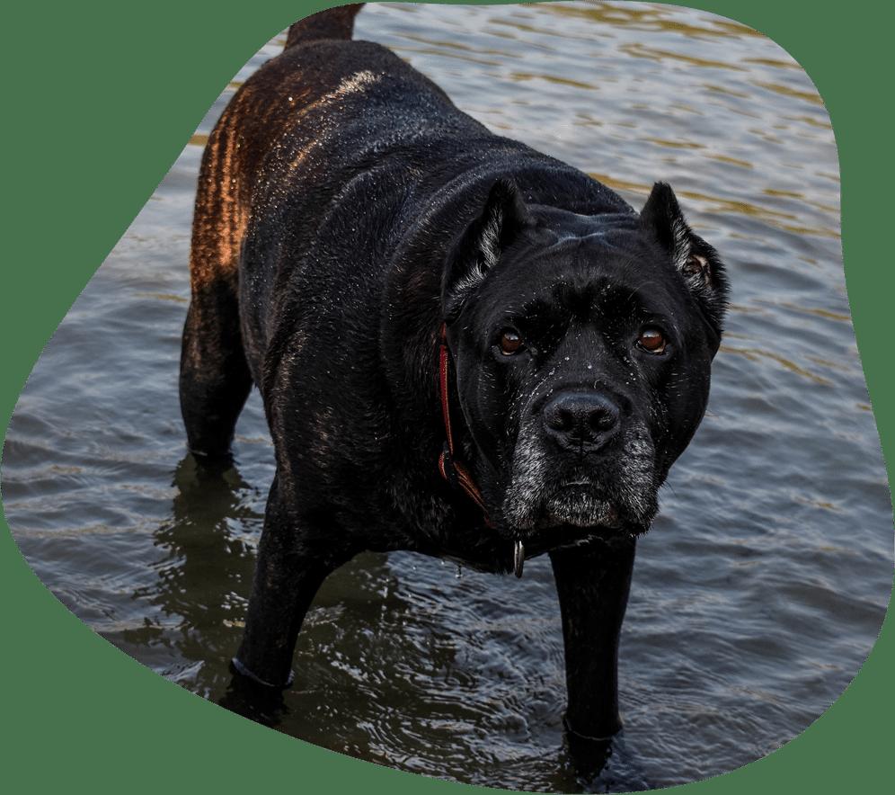 Bild eines Cane Corso im seichten Wasser