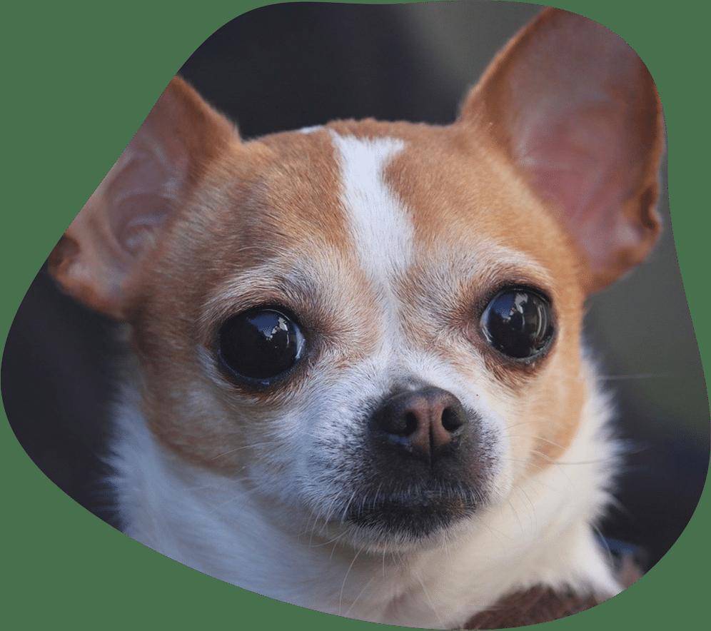 Bild eines Chihuahua