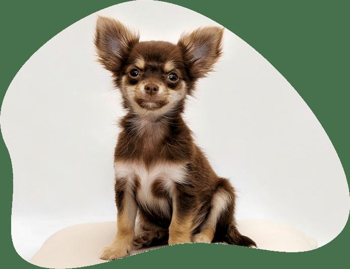 Bild eines Chihuahua als Titelbild für das Rasseporträt