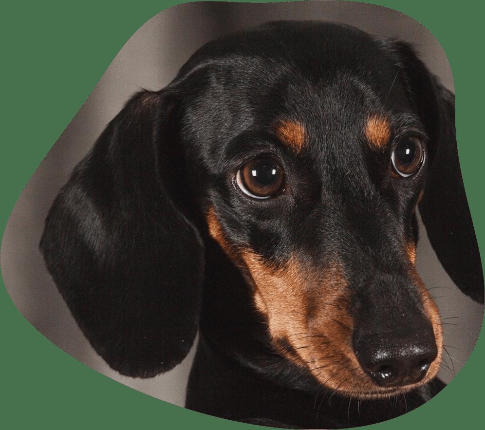 Bild eines Dackel mit schwarzem Fell