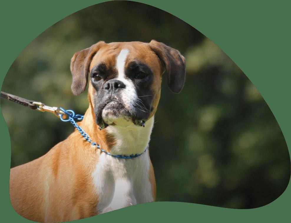 Bild eines Deutschen Boxer Hundes an der Leine