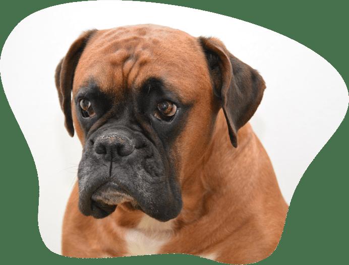 Bild eines Deutschen Boxer Hundes