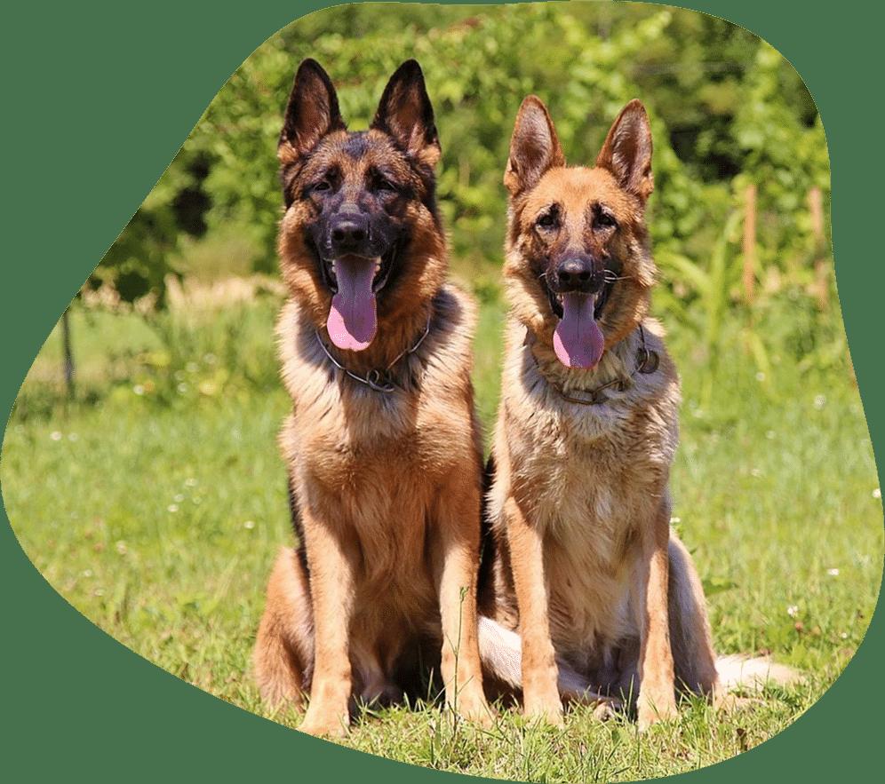 Bild von zwei Deutschen Schäferhunden
