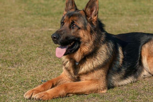 Bild eines Deutschen Schäferhund