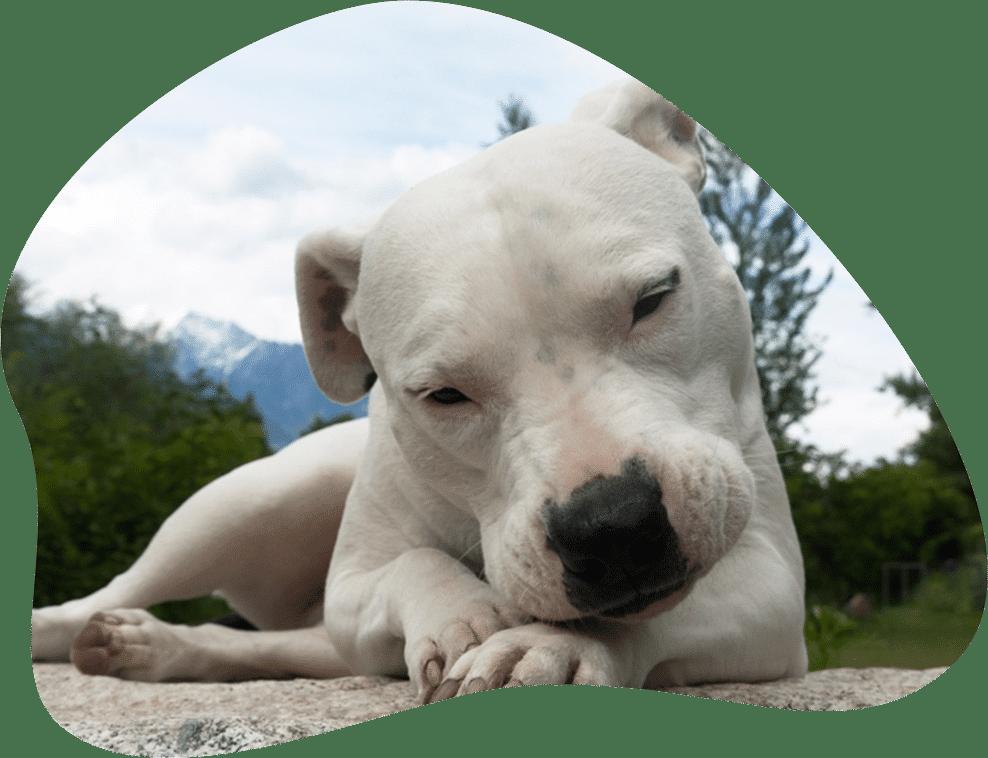 Bild eines Dogo Argentino, der auf dem Boden liegt