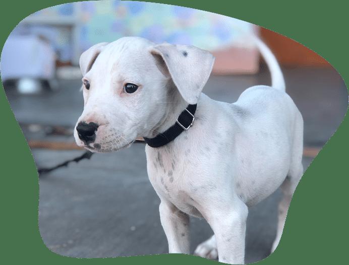 Bild eines Dogo Argentino Welpen als Titelbild für das Rasseportrait
