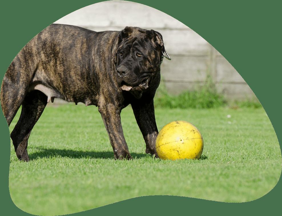 Bild eines Dogo Canario, der mit einem Ball spielt