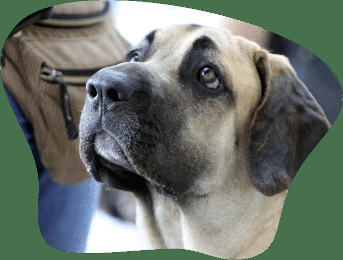 Bild eines Fila Brasileiro, der in Deutschland als Listenhund gilt