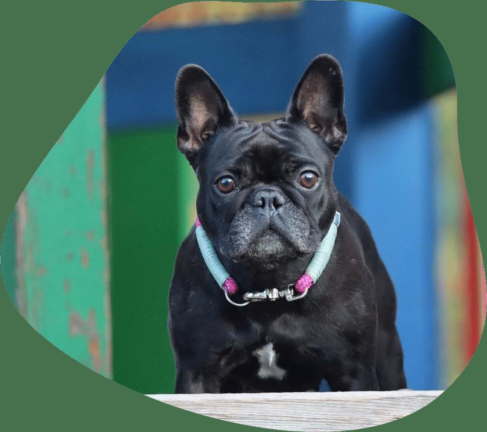 Bild einer schwarzen Französischen Bulldogge