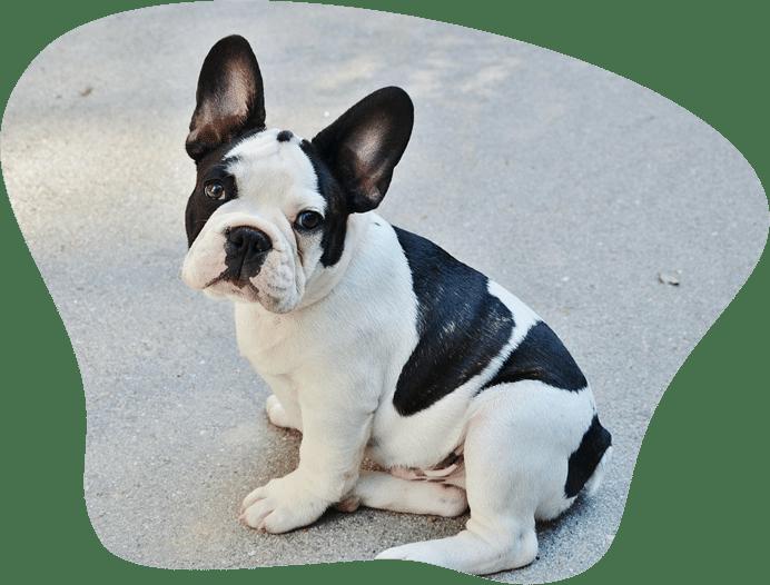 Bild einer jungen Französischen Bulldogge