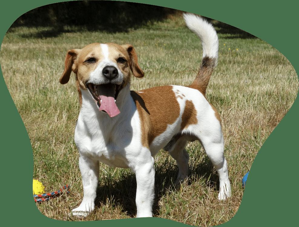 Bild eines Jack Russel Terrier auf einer Wiese beim Spielen