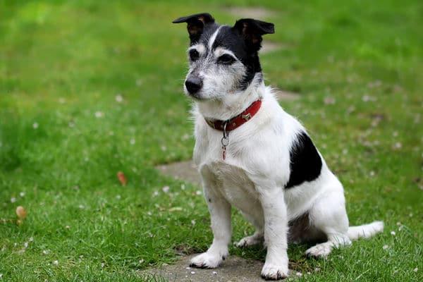 Bild eines Jack Russel Terrier auf einer Wiese
