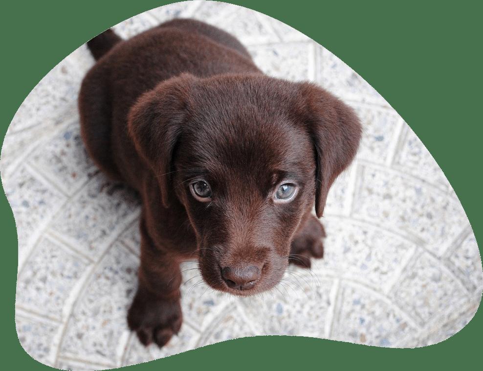 Bild eines Labrador Retriever Welpen