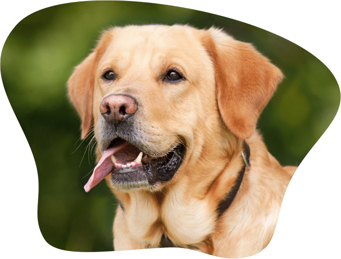 Bild eines Labrador Retriever mit hellem Fell
