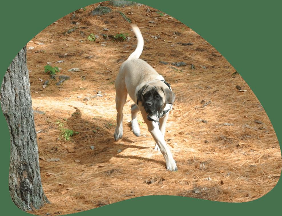 Bild eines Mastiff, der durch den Wald läuft