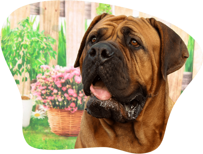Bild eines Mastiff im Garten