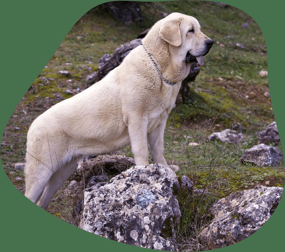 Bild eines Mastin Español (Spanischer Mastiff) auf einem Felsen