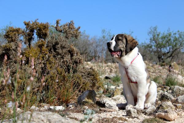 Bild eines Mastin Español (Spanischer Mastiff) Welpen