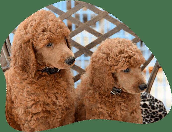 Bild von zwei Pudeln mit braunem Fell