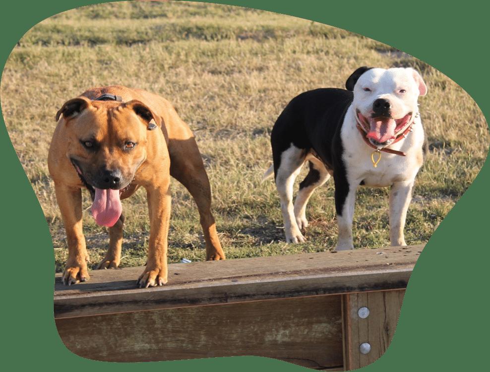 Bild mit zwei Staffordshire Bullterriern auf einer Wiese