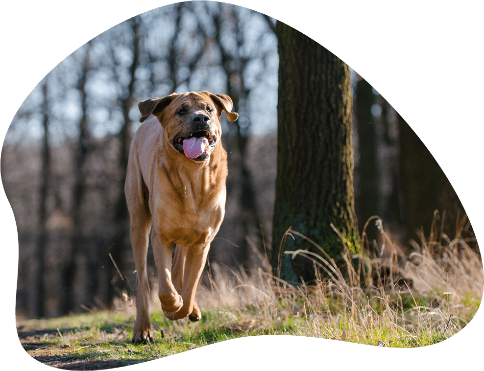 Bild eines Tosa Inu, der durch den Wald rennt