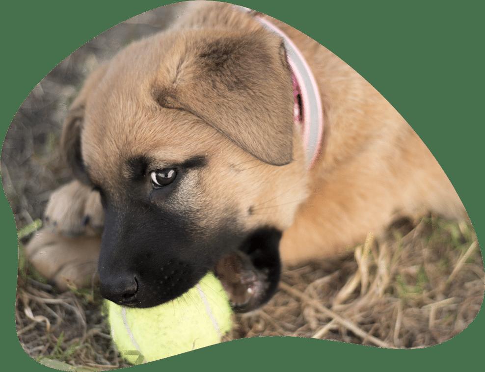 Bild eines Welpen, der in einen Tennisball beißt