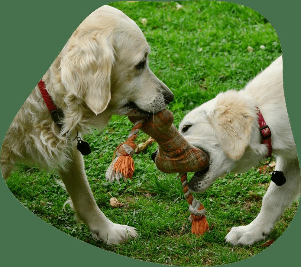 Zwei Hunde, die in einen Knochen aus Stoff beißen