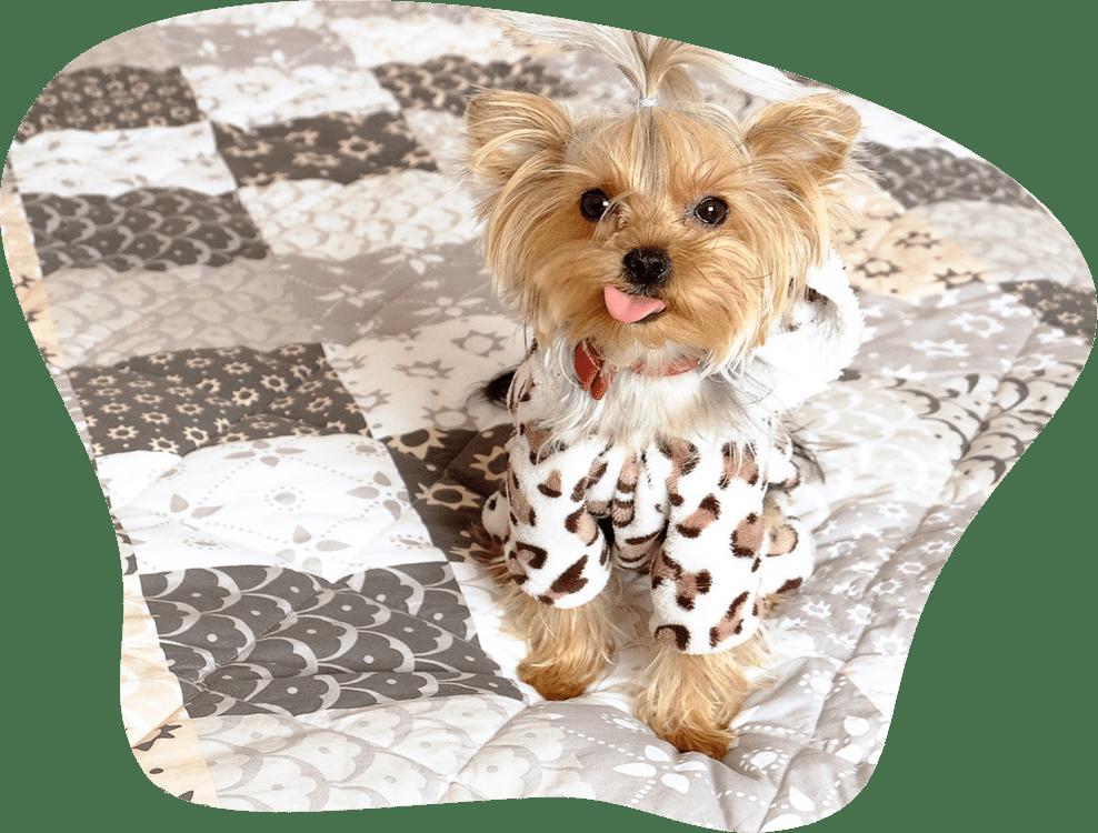 Bild eines Yorkshire Terrier mit einer Jacke