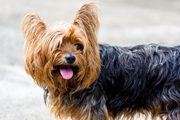Bild eines Yorkshire Terrier